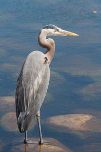 399px-Great_Blue_Heron_5158