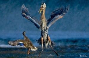 mallard-blue-heron-standoff-Bill-Bickle-570x375